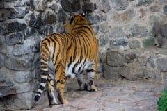 Tiger Walking fotografia stock
