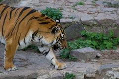 Tiger Walking photo libre de droits