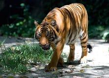tiger walking Στοκ Εικόνες