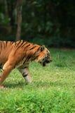 Tiger walking Royalty Free Stock Photo