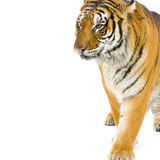 Tiger walking. In front of a white background. All my pictures are taken in a photo studio Stock Photography