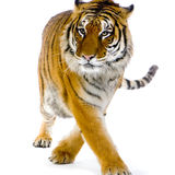 Tiger walking. In front of a white background. All my pictures are taken in a photo studio royalty free stock images