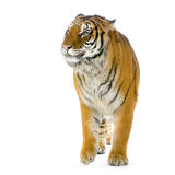 Tiger walking. In front of a white background. All my pictures are taken in a photo studio royalty free stock photography