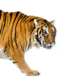 Tiger walking. In front of a white background. All my pictures are taken in a photo studio royalty free stock image