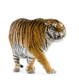 Tiger Walking Stock Photos