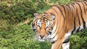 Tiger Walking almacen de metraje de vídeo