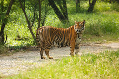 Tiger Walking Royalty-vrije Stock Fotografie