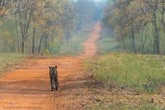 Tiger Walking Lizenzfreie Stockfotos