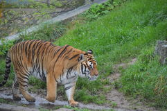Tiger Walking royaltyfria foton