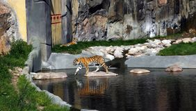 Tiger walking across the pond. Majestic tiger walking across the pond. Another tiger is resting in the background stock photography