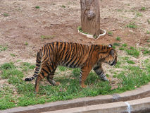 A tiger is walking along the bank of river Stock Image