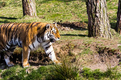 Tiger walking Stock Images