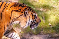 Tiger Walking Around in the Grass Royalty Free Stock Photos