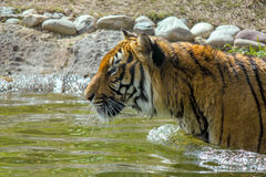Tiger Walking Around in het Water Stock Afbeelding