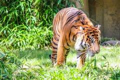 Tiger Walking Around im Gras Lizenzfreie Stockfotos