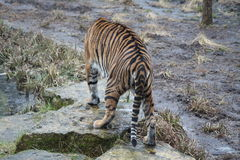 Tiger. A Tiger walking away in the rain Royalty Free Stock Photography