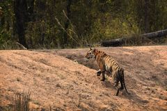 Tiger walking. A Bengal Tiger walking up a slope at Bandhavgarh National Park, India Royalty Free Stock Images