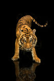 Tiger walking black background Stock Photography