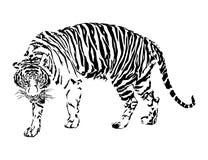 Tiger walking. Stock Photo