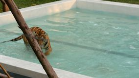 Tiger walking in a blue pool stock video