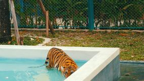 Tiger walking in a blue pool stock video footage
