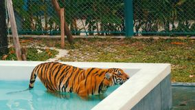 Tiger walking in a blue pool stock footage
