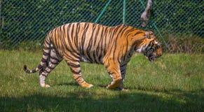 Tiger Walking en la hierba imágenes de archivo libres de regalías