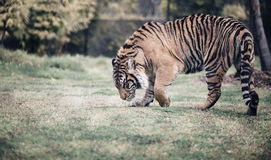 Tiger walking in a field