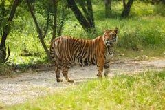 Tiger walking Royalty Free Stock Photography