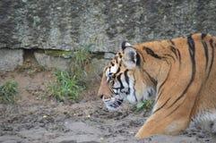 Tiger walking Stock Images