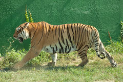 Tiger. Walking through the grass Stock Photography