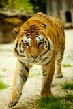 Tiger. Walking through the grass Royalty Free Stock Photo