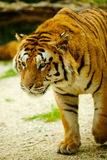 Tiger. Walking through the grass Royalty Free Stock Images