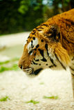 Tiger. Walking in the grass Royalty Free Stock Images