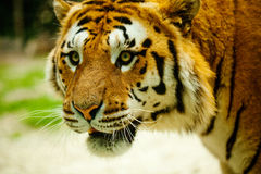 Tiger. Walking in the grass Stock Photo