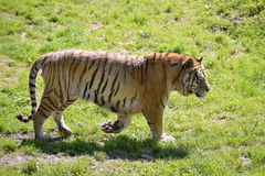 Tiger walking on grass Royalty Free Stock Photography