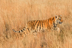 Tiger walking through the grass. Shot of a wild bengal tiger Stock Photography