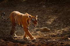 Tiger walking on the gravel road. Indian tiger female with first rain, wild animal in the nature habitat, Ranthambore, India. Big. Tiger walking on the gravel Stock Photo