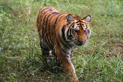 Tiger walking in a green forest Royalty Free Stock Photo