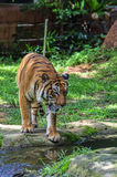 Tiger walking on the green grass Royalty Free Stock Photo