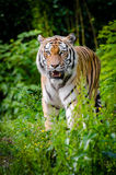 Tiger Walking on Green Plants During Daytime Stock Images