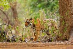 Tiger walking in green vegetation. Wild Asia, wildlife India. Indian tiger, wild animal in the nature habitat, Ranthambore, India. Stock Photography