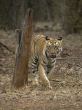 Tiger walking head-on in front of a vehical l in evening hours. Tiger walking head-on in front of a safari vehical in evening hours at tadoba andhari tiger Stock Photo