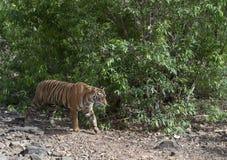 Tiger Walking, het Nationale park van Ranthambhore, Rajasthan, India royalty-vrije stock foto