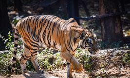 Tiger walking. Indochinese tiger walking at the zoo Royalty Free Stock Image