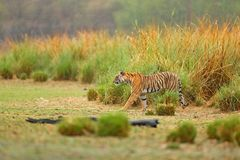 Tiger walking in lake grass. Indian tiger with first rain, wild danger animal in the nature habitat, Ranthambore, India. Big cat, Royalty Free Stock Images
