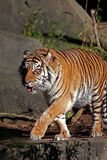 Tiger walking on ledge. Side view of tiger walking on ledge Royalty Free Stock Photography