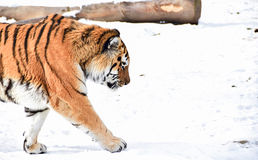 Tiger walking in from left Stock Images