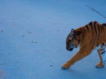 Tiger Walking naar iemand royalty-vrije stock fotografie