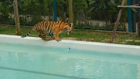 Tiger walking near a blue pool stock footage